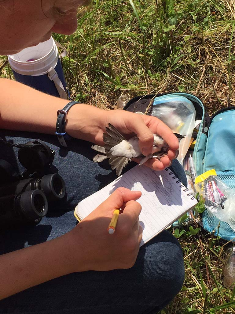 Examining a Tree Swallow in the field.